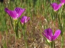 Winecup Clarkia Seeds (Clarkia purpurea)