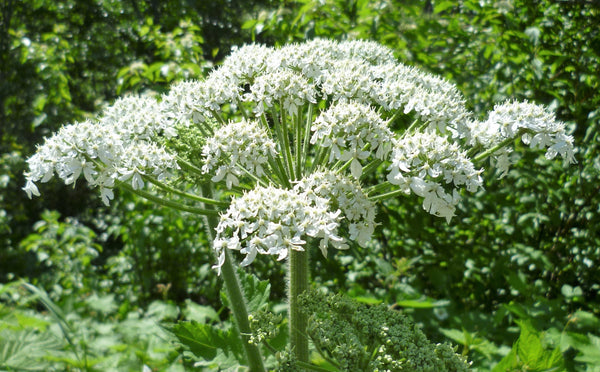 Cow Parsnip Seeds (Heracleum maximum)