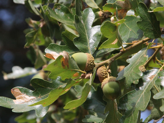 Garry Oak Acorns (Quercus garryana)