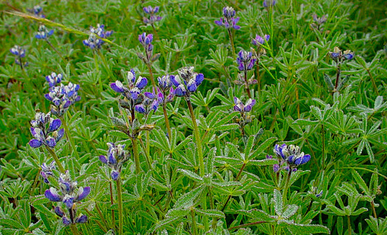 Bicolor Lupine Seeds (Lupinus bicolor)