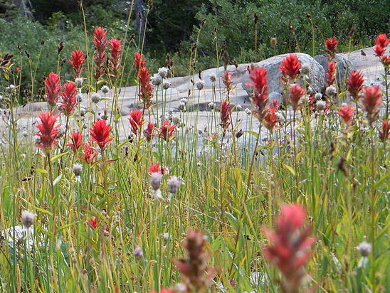 Giant Red Paintbrush Seeds (Castilleja miniata)