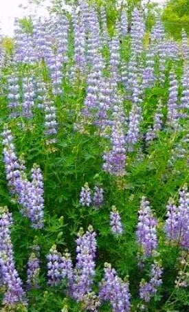 Riverbank Lupine Seeds (Lupinus rivularis)
