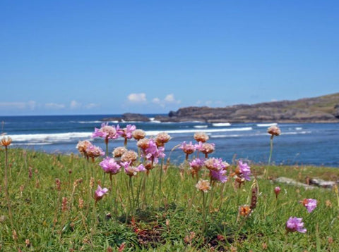 Sea Thrift Seeds (Armeria maritima)
