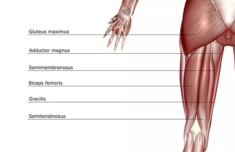 Guide to lower body muscles