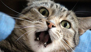 The Connection Between Dental Disease and Kidney Disease in Cats