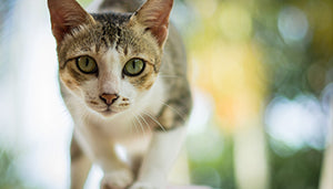 Lysine for Cats -- The Basics