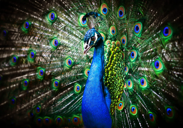 Peacock with it's amazing colors for dating and mating, sexual attraction