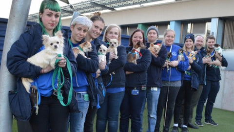 Eleven Chihuahuas arrive in Battersea in just one week