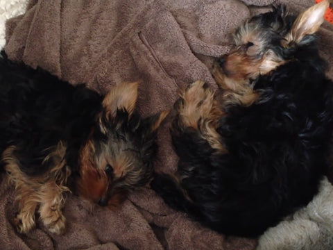 Yorkie Puppies Have the Sleepiest of Nap Times