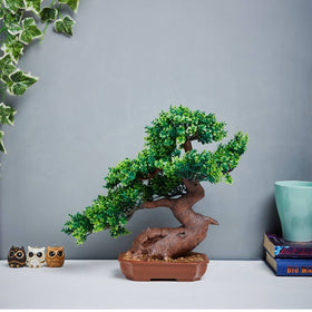 Sageretia Bonsai Potted Plant