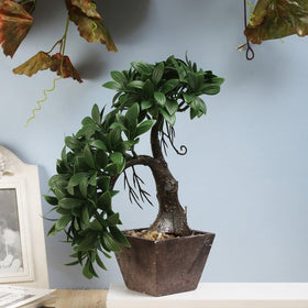 Split Bonsai Plant