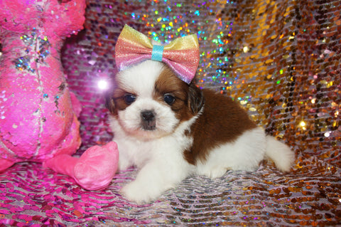 Shih Tzu Puppies - Scroll Down for Available Puppies for Sale