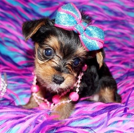 Shih Tzu & Yorkshire Terrier Breeder in SC | Pandora's Puppies