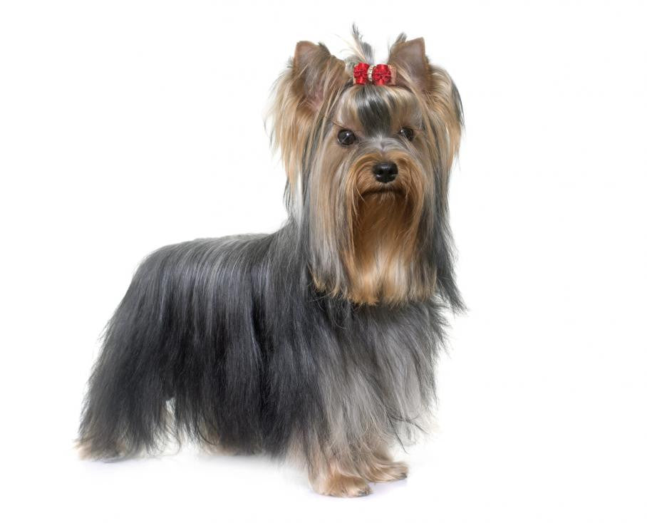 Yorkshire Terrier Puppies For Sale in SC - AKC Yorkie