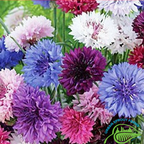 Choice Mix Centaurea