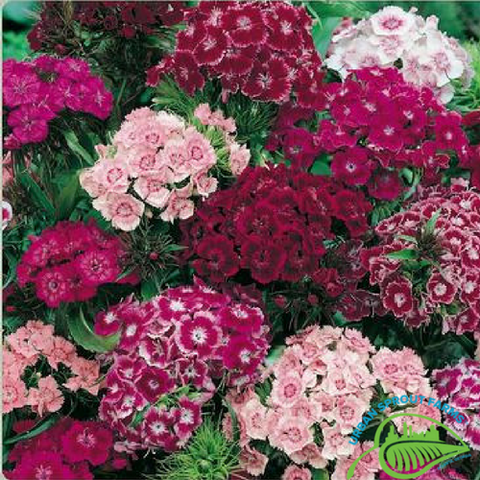 Hollandia Dianthus