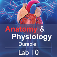 Anatomy & Physiology Lab 10: Biomechanics - Durable