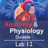 Anatomy & Physiology Lab 12: The Endocrine System - Durable
