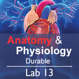 Anatomy & Physiology Lab 13: The Cardiovascular System - Durable