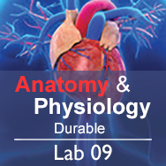 Anatomy & Physiology Lab 09: The Muscular System - Durable