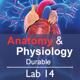 Anatomy & Physiology Lab 14: The Respiratory System - Durable