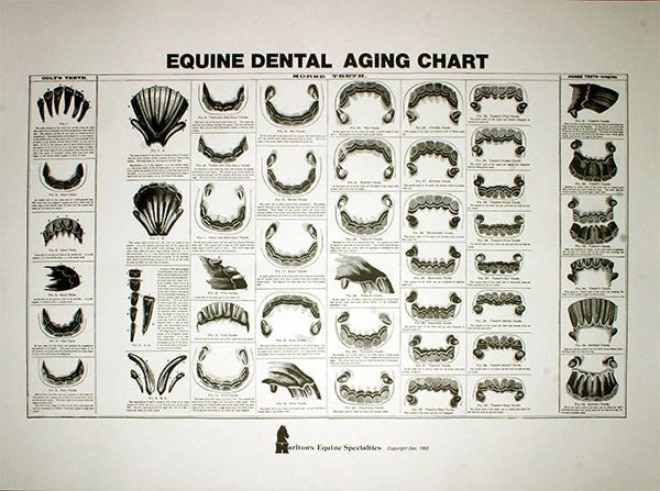 Equine Dental Aging Chart - Equine Dental Instruments