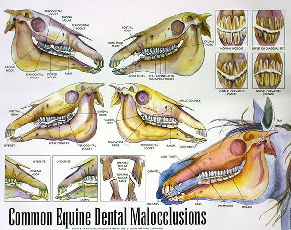 Equine Dental Malocclusions - Wall Chart - Equine Dental Instruments