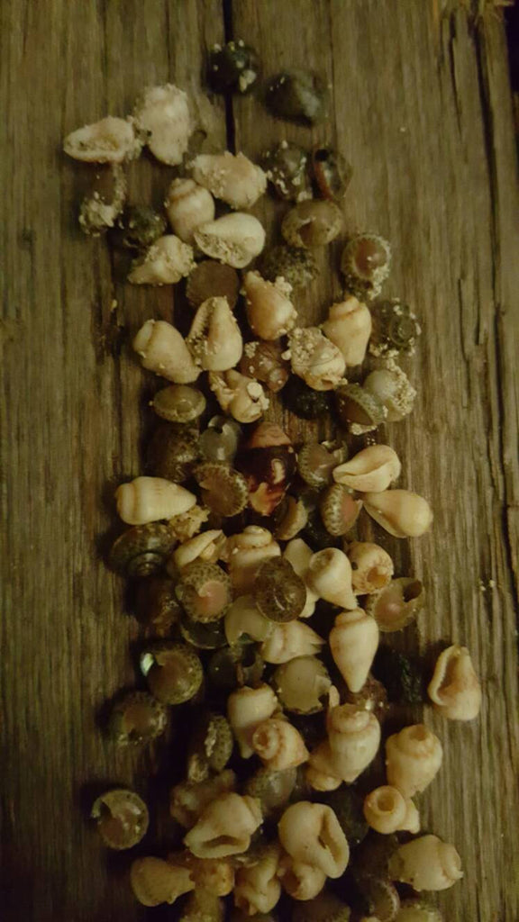 tiny iny shells, craft, free shipping