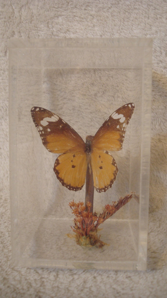 Caged Butterfly, Butterfly Display - Vintage - Beautiful Decor