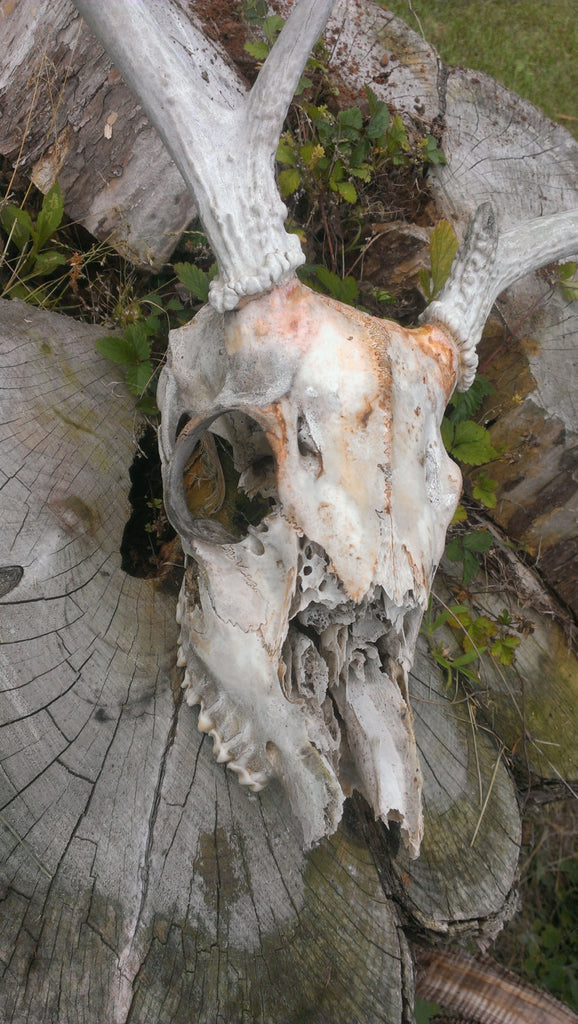 Deer Skull with Antlers