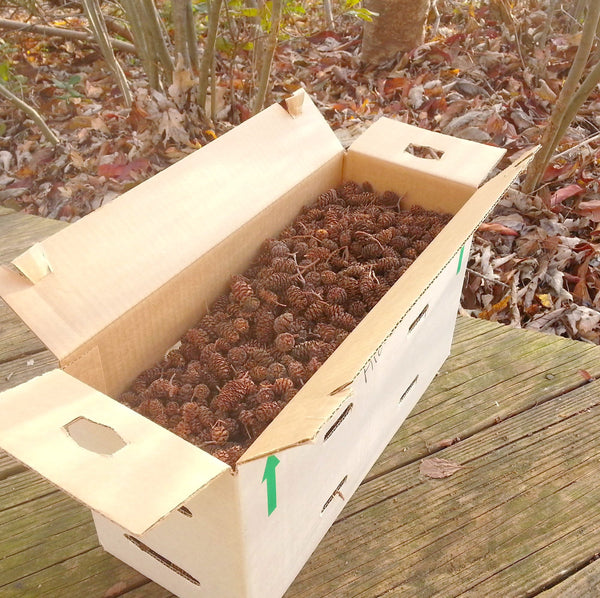 bulk pine cones in box