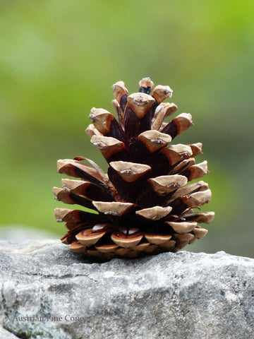 perfect small pine cones