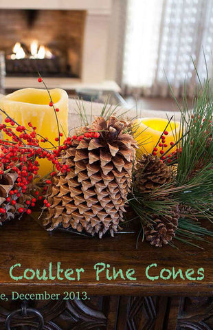 Coulter Pine Tree Cones (Jumbo Size 9+ inches) Unique Giant Pine Cones