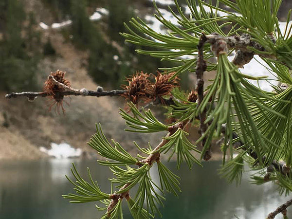 Small Douglas Fir Cones are a Unique Cone with Lots of Character for Crafting - HouseofCones.com - 3