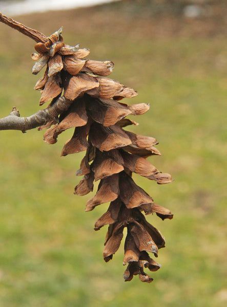 rare pine cones for crafts
