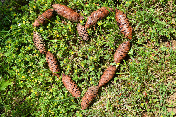 pine cones for weddings