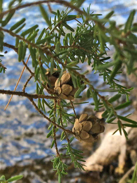 hemlock pine cones on tree