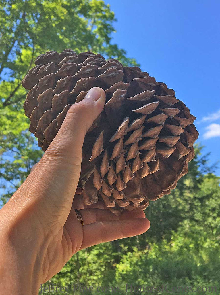 Large Jeffrey Pine Tree Cones are Perfect for Holiday Decorating