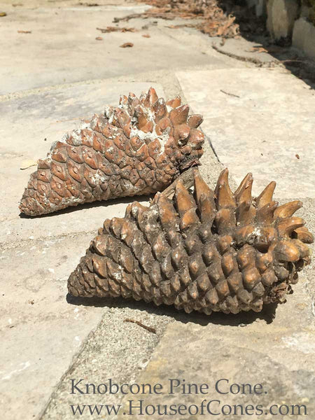 Knobcone Pine cones are for third eye jewelry