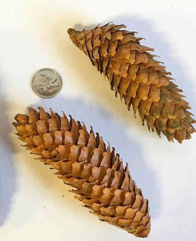 pine cones for floral arrangments