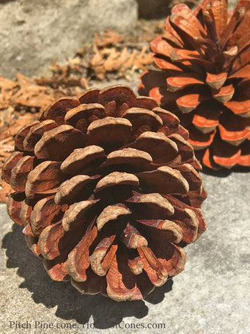 small pine cones from house of cones