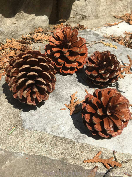 small pitch pine cones