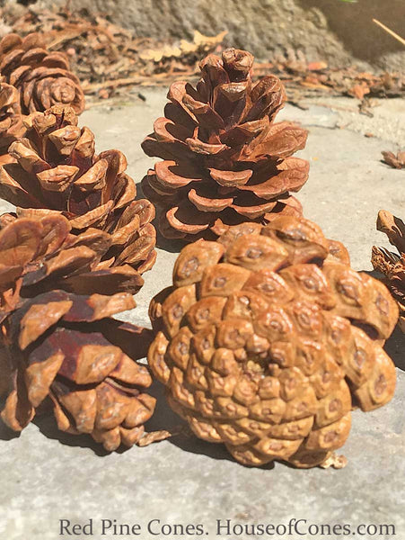 Red Pine cones with bottom pattern