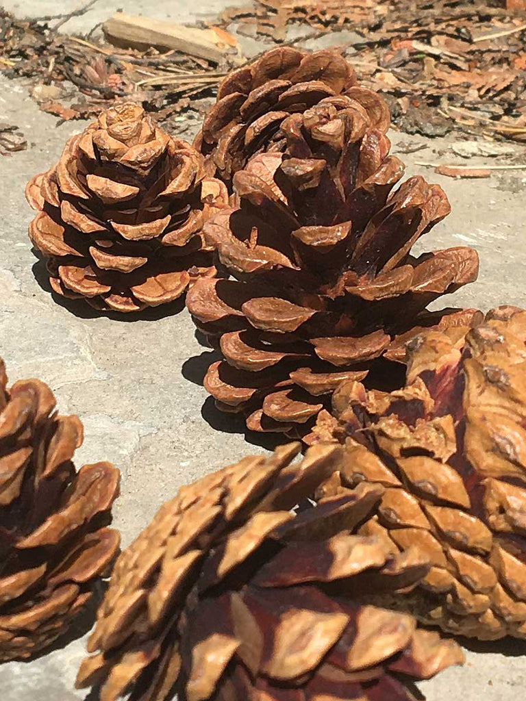 Small Red Pine cones close up