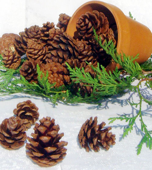 Red Pine cones in pot