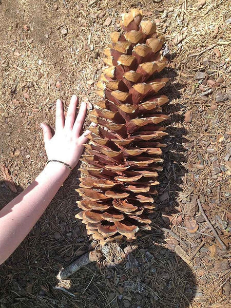 The longest pine cones in the world