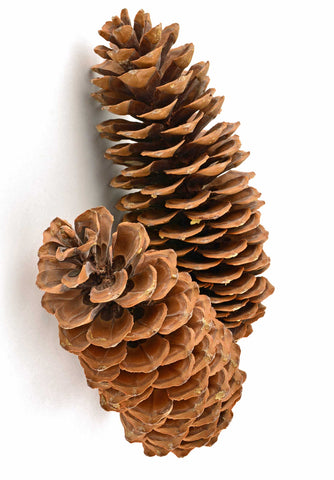 giant pine cones are naturally elegant
