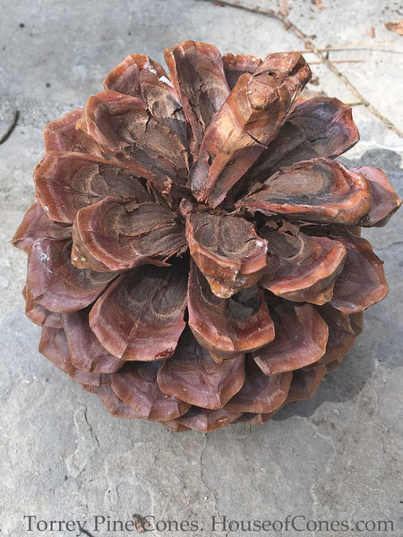 Large Torrey Pine Tree Cones;  for a Woodsy Touch , Rustic Wedding Favorite - HouseofCones.com - 5