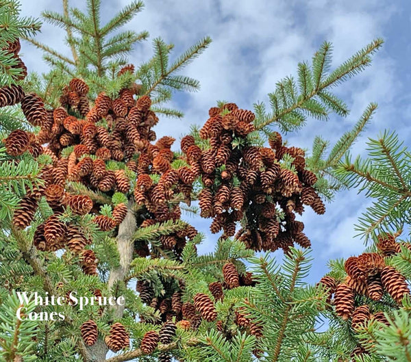 White Spruce Cones are Small Cones that are Excellent for Crafts