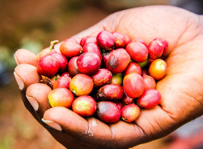 A handfull of coffee cherries